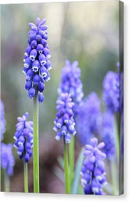 Spring Grape Hyacinth Flowers Canvas Print by Jennie Marie Schell