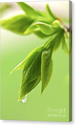Spring Green Leaves Canvas Print by Elena Elisseeva