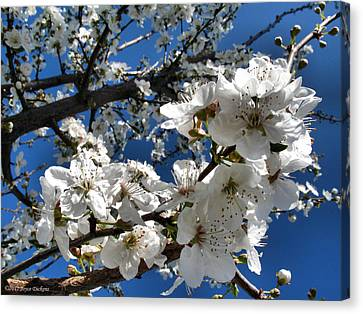 Spring Pear Blossoms 2012 Canvas Print