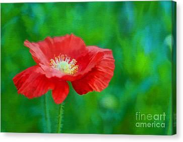 Spring Poppy Canvas Print by Darren Fisher