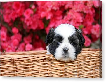 Spring Puppy  Canvas Print by Darren Fisher