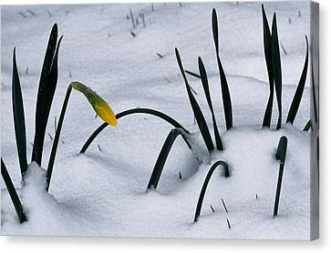Spring Snow Coats The Daffodils Canvas Print by George F. Mobley