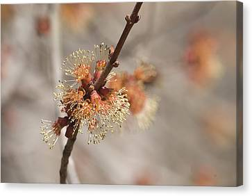 Canvas Print featuring the photograph Spring Tree Bud by Lisa Missenda
