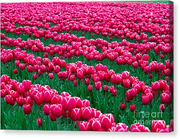 Spring Tulips Canvas Print by David R Frazier and Photo Researchers