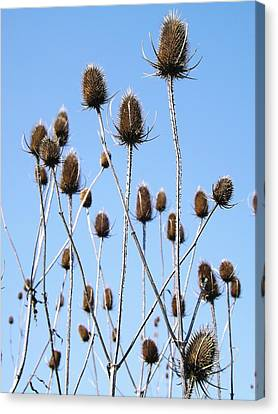 Canvas Print featuring the photograph Spring Weeds 2 by Gerald Strine