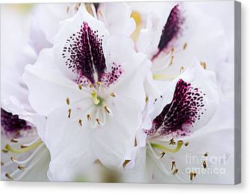 Spring White Canvas Print by Jacky Parker