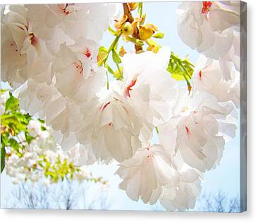 Spring White Pink Tree Flower Blossoms Canvas Print by Baslee Troutman