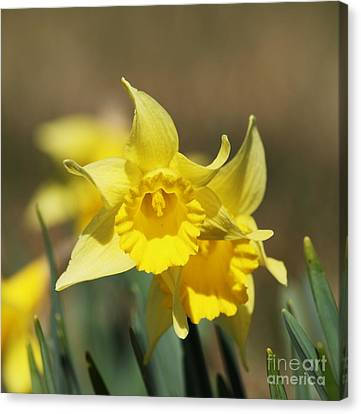 Canvas Print featuring the photograph Springing Spring by Julie Clements