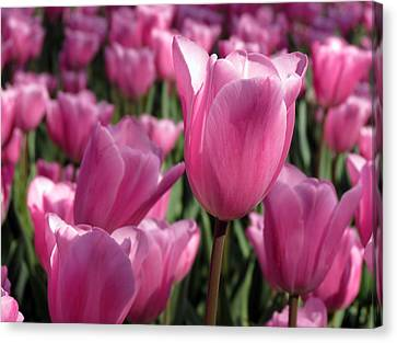 Springtime Impression Tulips Canvas Print by Darleen Stry