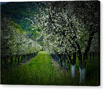 Springtime In The Orchard II Canvas Print by Bill Gallagher