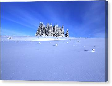 Spruce Grove In Winter Canvas Print