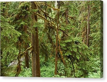 Spruce Trees With Moss Canvas Print by Darlyne A. Murawski