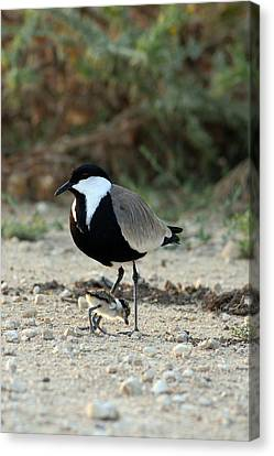 Spur-winged Plover And Chick Canvas Print