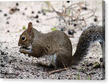 Canvas Print featuring the photograph Squirrel Eating Nuts by Jeanne Andrews