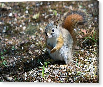 Canvas Print featuring the photograph Squirrel by Josef Pittner