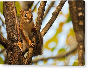 Canvas Print featuring the photograph Squirrel On High by Cheryl Baxter