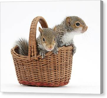 Squirrels In A Basket Canvas Print by Mark Taylor