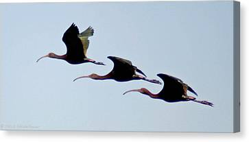 Canvas Print featuring the photograph Stacked Ibis by Mitch Shindelbower