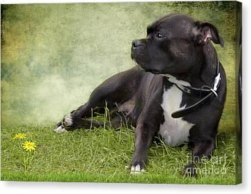 Staffie Dog On Grass Canvas Print