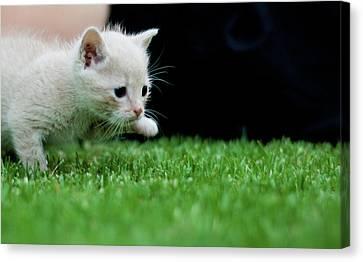 Stalking Kitten Canvas Print by Sean Sequeira