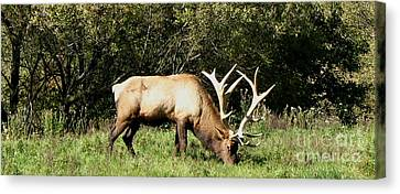 Stand Alone Elk Canvas Print by The Kepharts