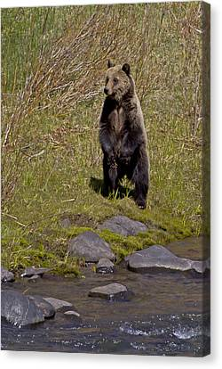 Canvas Print featuring the photograph Standing Grizzly by J L Woody Wooden