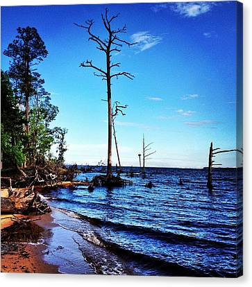 Standing Tall Goose Creek State Park Canvas Print by Joan Meyland