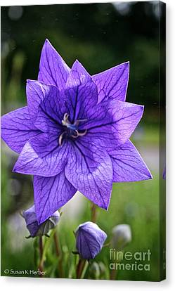 Star Balloon Flower Canvas Print by Susan Herber
