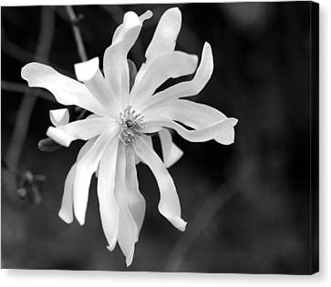 Star Magnolia Canvas Print by Lisa Phillips