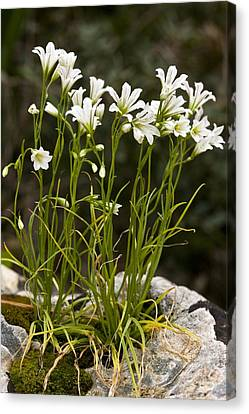 Star-of-bethlehem (gagea Graeca) Canvas Print by Bob Gibbons