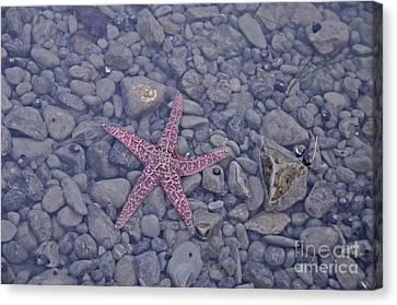 Starfish Canvas Print