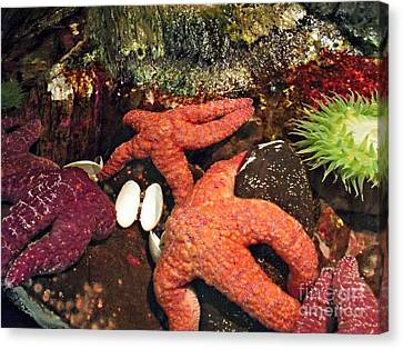 Starfish Medley Canvas Print by Methune Hively
