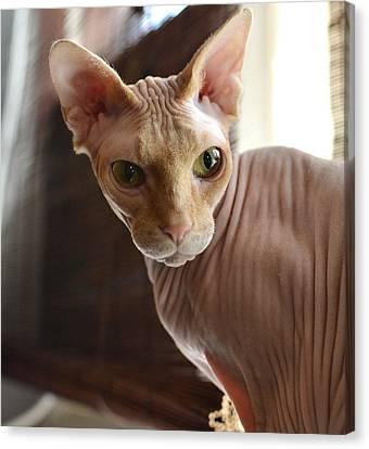 Sphynx Cat Canvas Print - Staring Sphynx by Fraida Gutovich