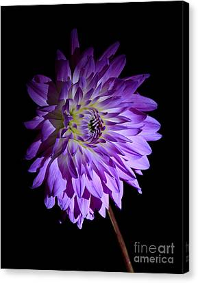 Starlight Star Bright Canvas Print by Inspired Nature Photography Fine Art Photography