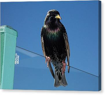 Canvas Print featuring the photograph Starling At Santa Monica Pier by Peter Mooyman