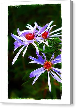 Stars Of Spring Canvas Print by Judi Bagwell