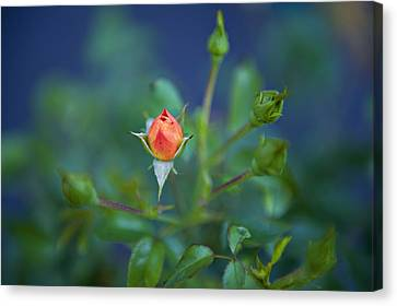 Hot Pink Custom Canvas Print - Starting To Bloom by Malania Hammer