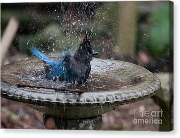 Stellar Jay In The Birdbath Canvas Print by Carol Ailles
