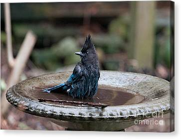 Steller Jay In The Birdbath Canvas Print by Carol Ailles