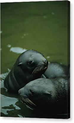 Steller Sea Lion Pups Eumetopias Canvas Print by Joel Sartore
