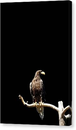 Stellers Sea Eagle On Branch Canvas Print by Tommi Pohjalainen