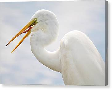 Sticking Out His Tongue Canvas Print by Paulette Thomas
