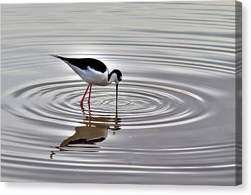 Canvas Print featuring the photograph Black-necked Stilt by Tam Ryan
