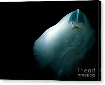 Stingray Canvas Print by Jane Rix