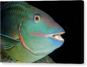 Stoplight Parrotfish Canvas Print by Clay Coleman