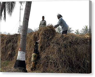 Storing The Rice Grass Canvas Print by Johnson Moya