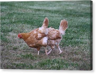 Strange Chicken Canvas Print