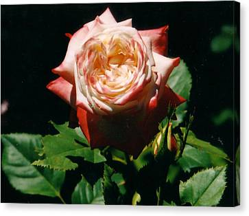 Strawberry Rose Canvas Print