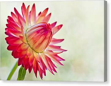 Strawflower Canvas Print by Heidi Smith