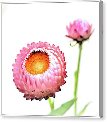 Strawflower Canvas Print by I love Photo and Apple.
